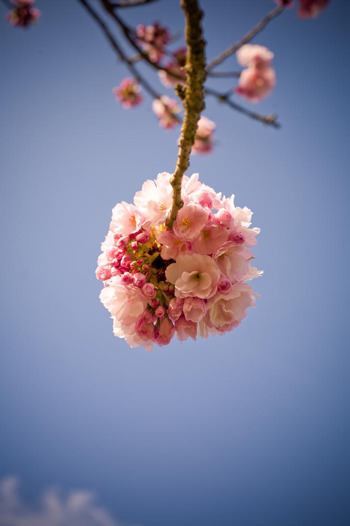 Blossomballweb