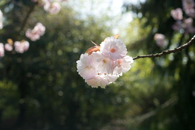 Blossombokehweb