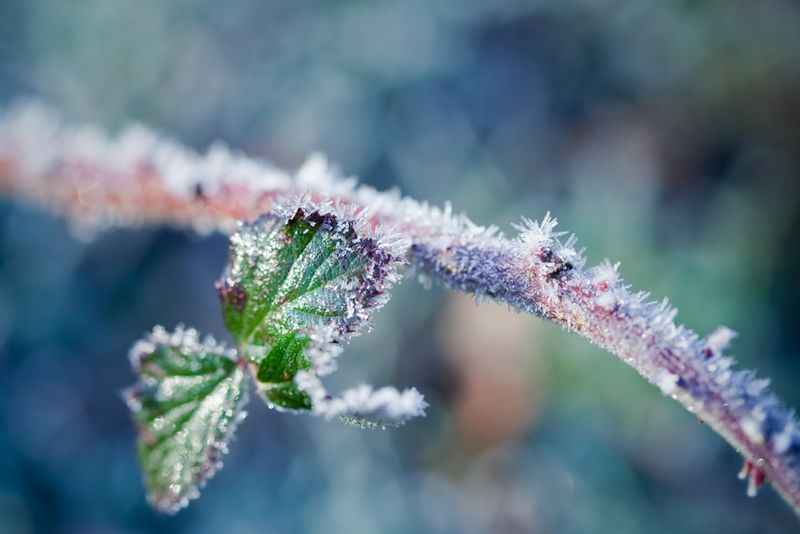 Frosted edgeweb