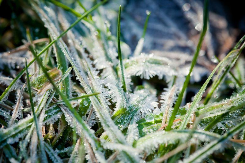 Frozengrassweb