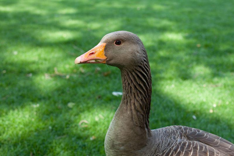 Gooseweb