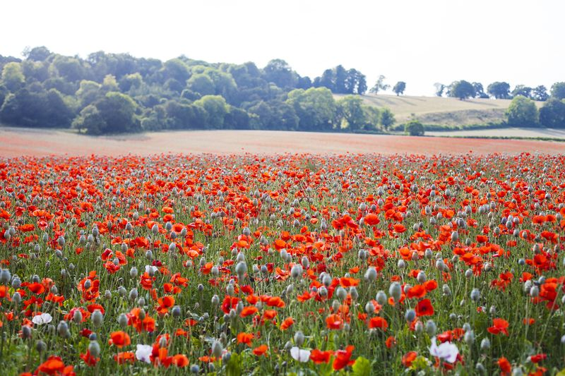 Poppies4web