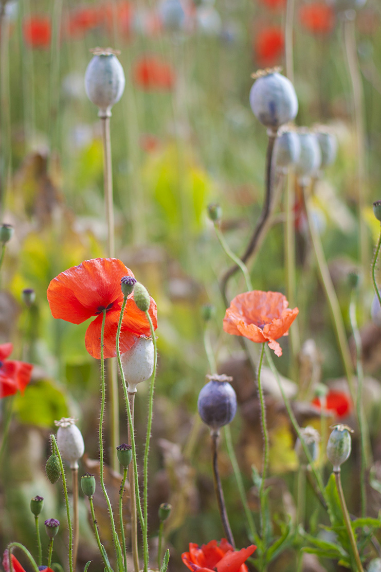 Poppies1web