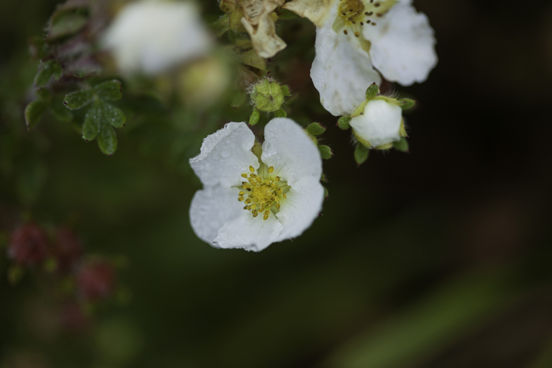 Whitewetflower