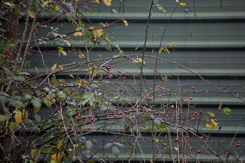 Rosehipsweb