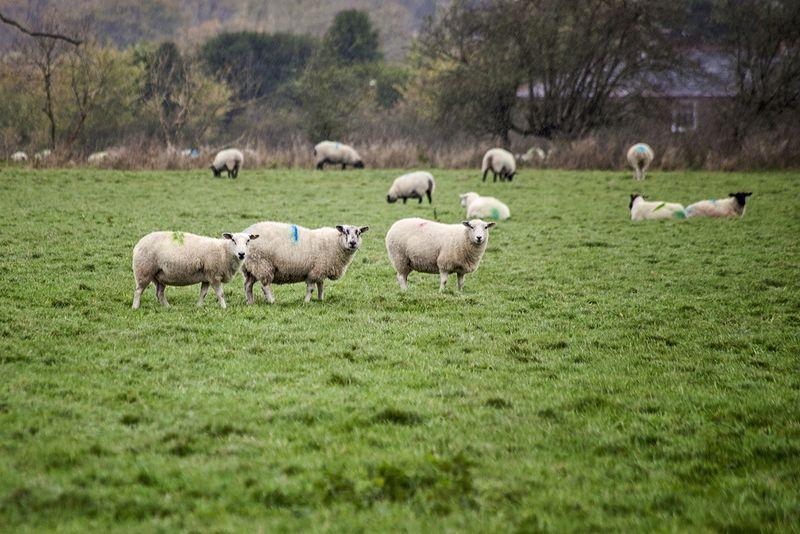 Sheepsistersweb