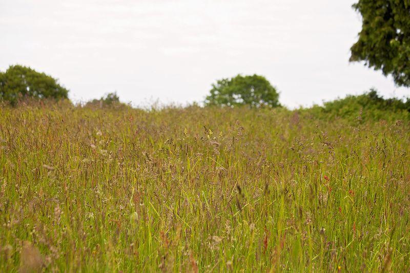 Longgrassweb