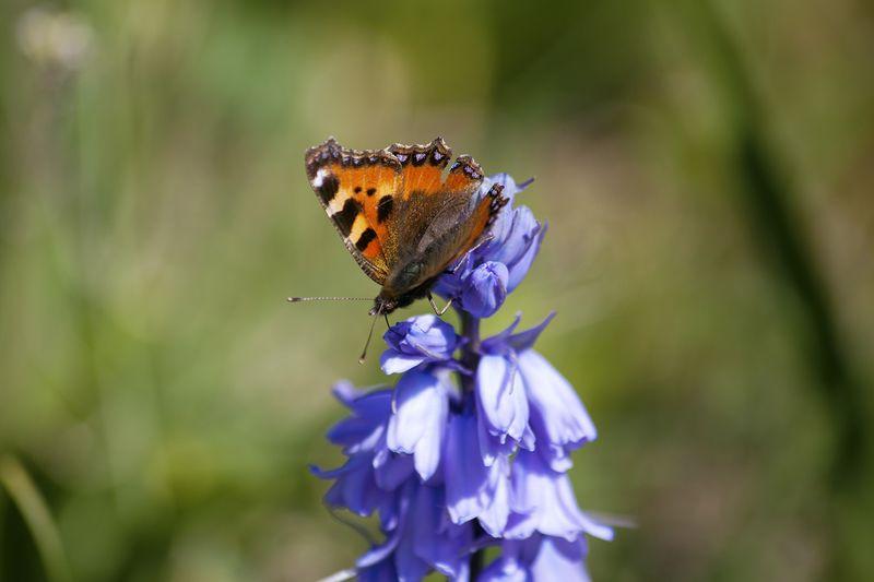 Butterflybluebellweb