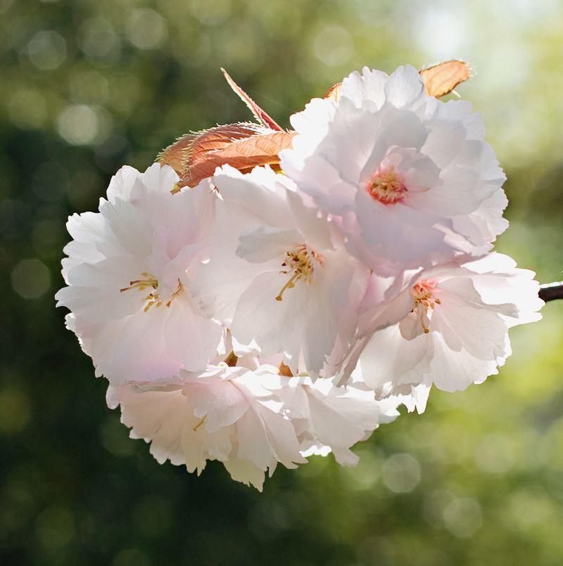 Blossommacro