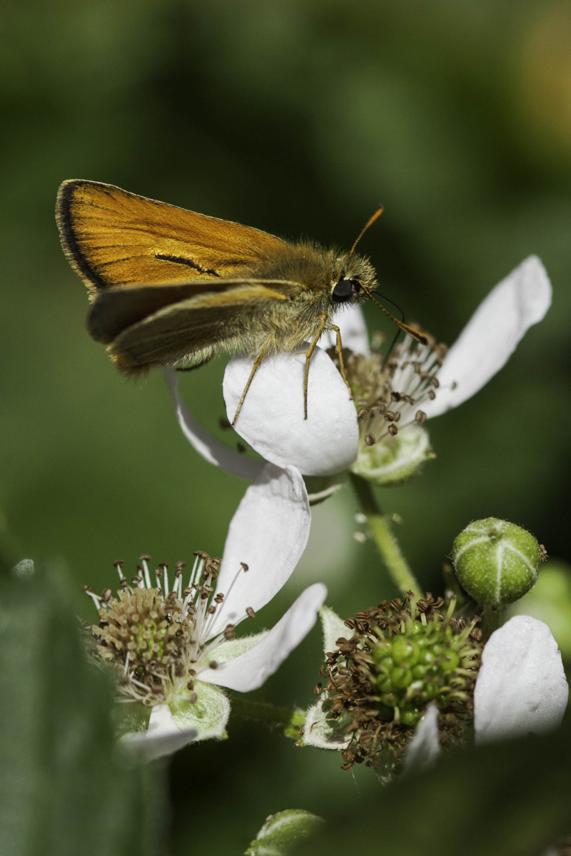 Goldbutterfly