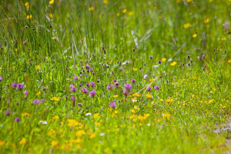 Meadowgrassweb