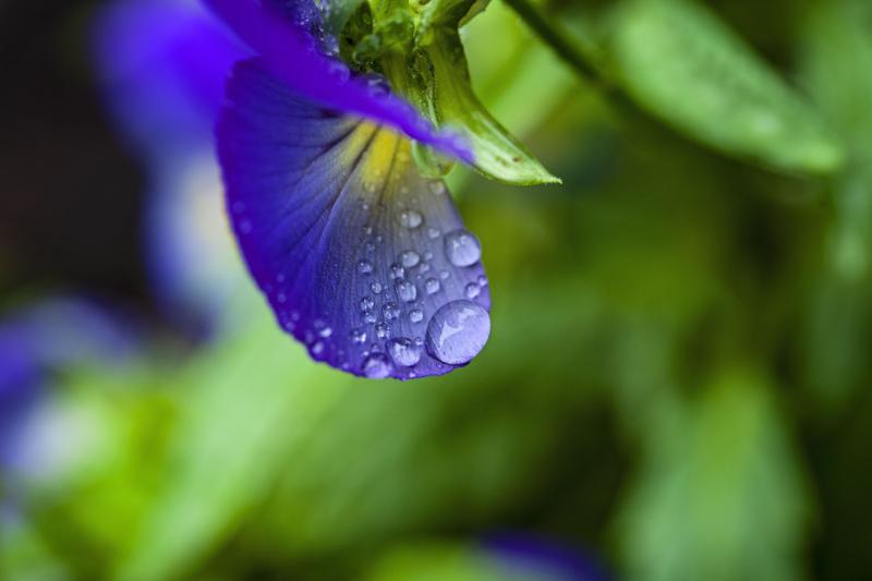 Rainypansy
