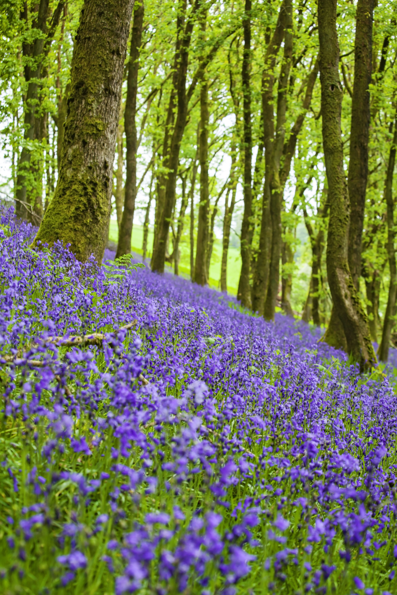 Bluebellpath