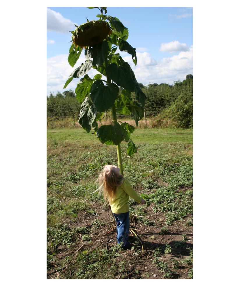 Molliesunflower
