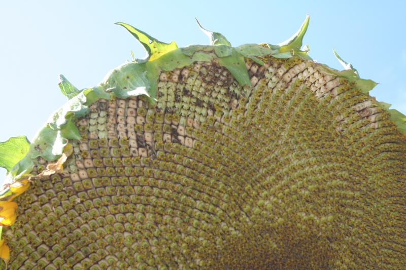 Sunflowerhead
